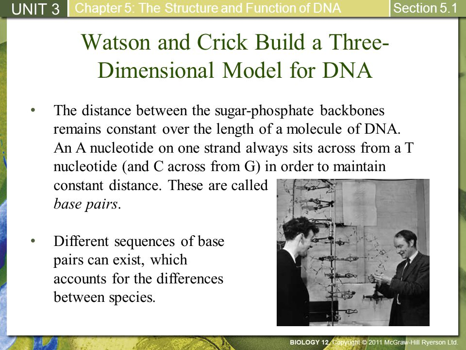 Watson and Crick Build a Three- Dimensional Model for DNA UNIT 3 Chapter 5: The Structure and Function of DNA Section 5.1 The distance between the sug