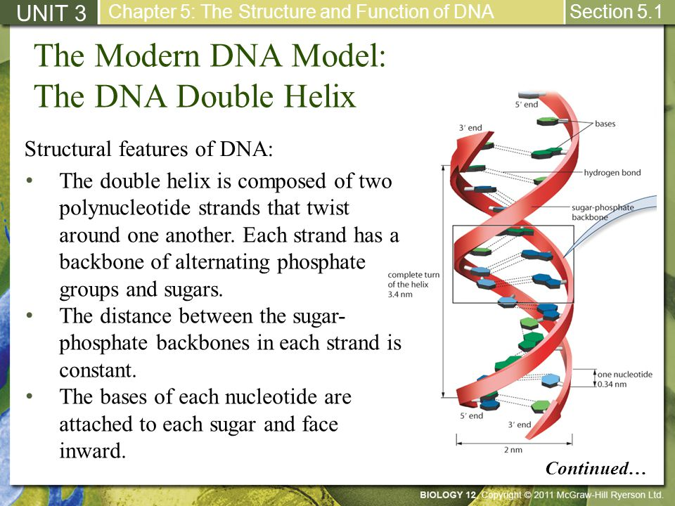 The Modern DNA Model: The DNA Double Helix UNIT 3 Chapter 5: The Structure and Function of DNA Section 5.1 The double helix is composed of two polynuc