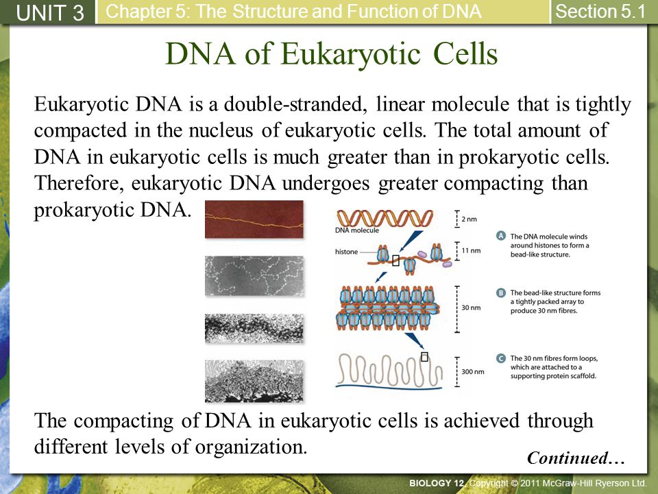 DNA of Eukaryotic Cells UNIT 3 Chapter 5: The Structure and Function of DNA Section 5.1 Eukaryotic DNA is a double-stranded, linear molecule that is t
