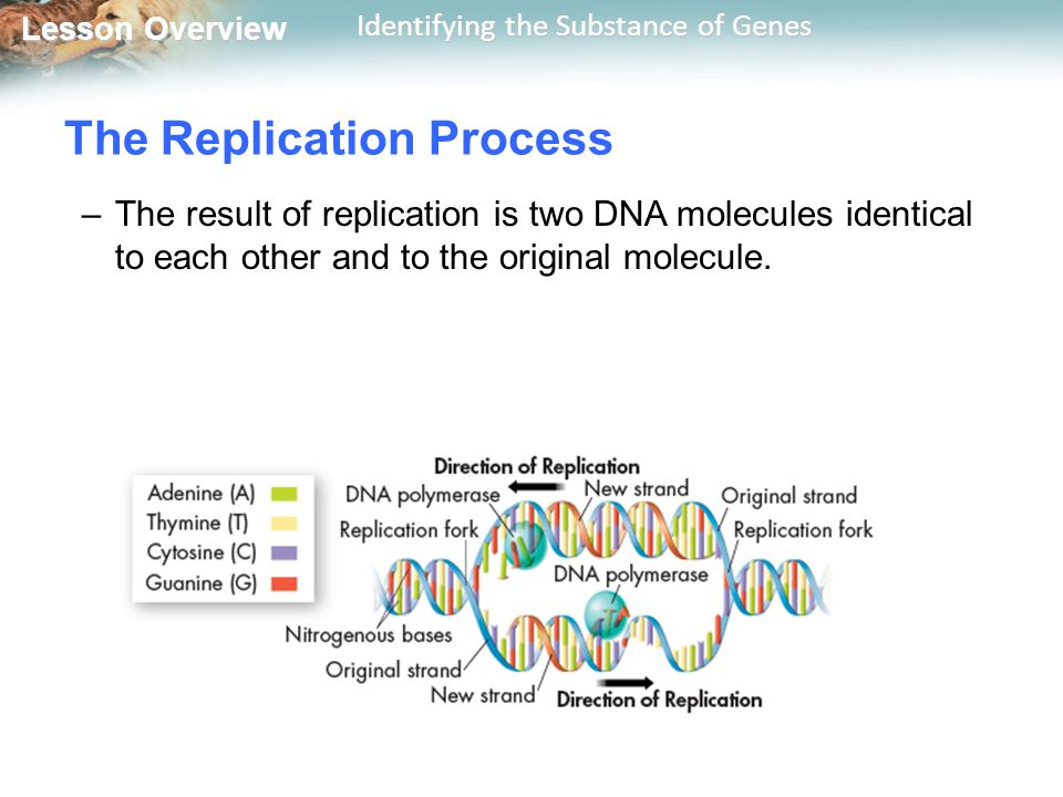 Lesson Overview Lesson Overview Identifying the Substance of Genes –The result of replication is two DNA molecules identical to each other and to the