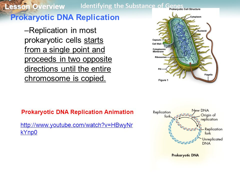 Lesson Overview Lesson Overview Identifying the Substance of Genes Prokaryotic DNA Replication –Replication in most prokaryotic cells starts from a si