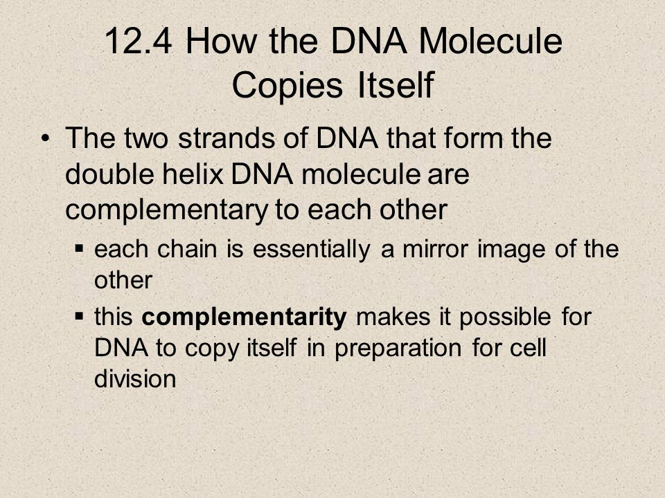 12.4 How the DNA Molecule Copies Itself The two strands of DNA that form the double helix DNA molecule are complementary to each other  each chain is essentially a mirror image of the other  this complementarity makes it possible for DNA to copy itself in preparation for cell division