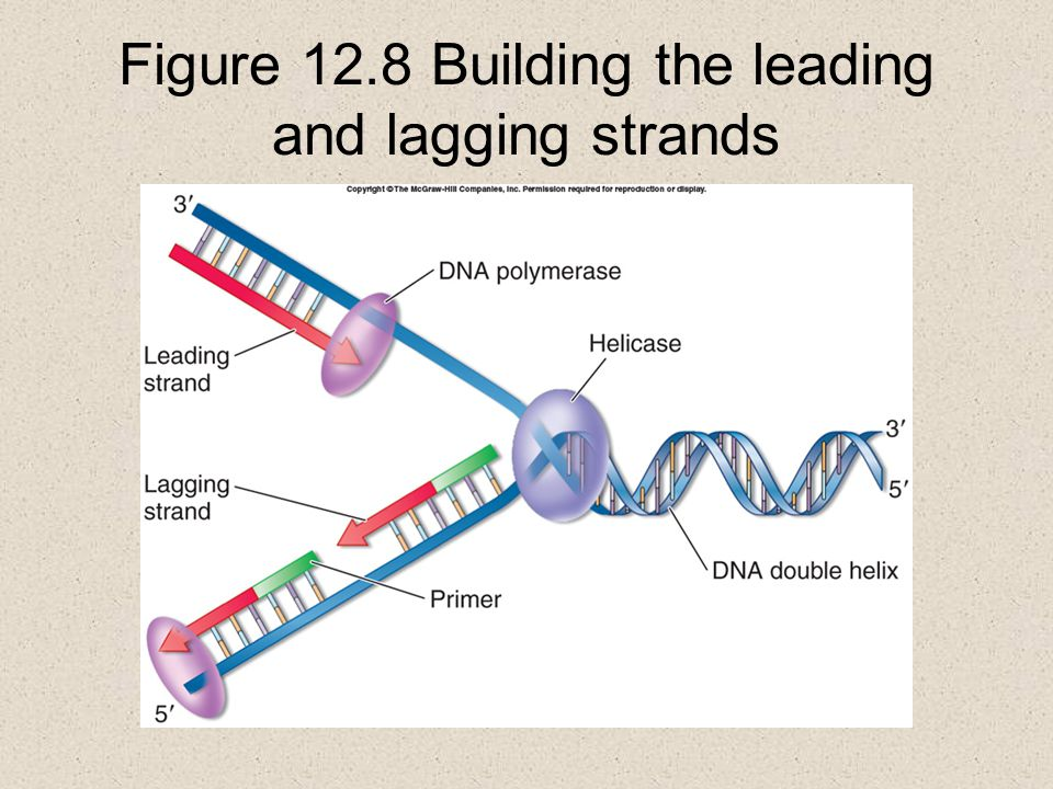 Figure 12.8 Building the leading and lagging strands