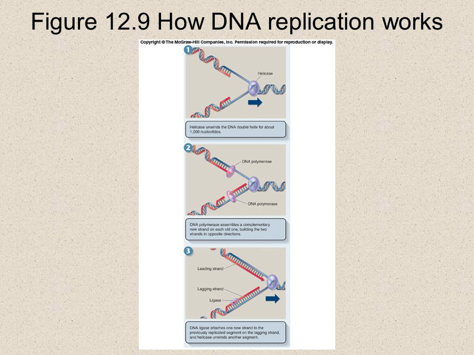 Figure 12.9 How DNA replication works