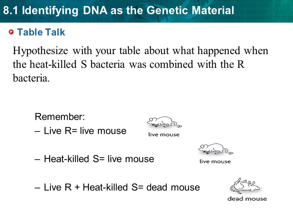8.1 Identifying DNA as the Genetic Material Table Talk Remember: –Live R= live mouse –Heat-killed S= live mouse –Live R + Heat-killed S= dead mouse Hy