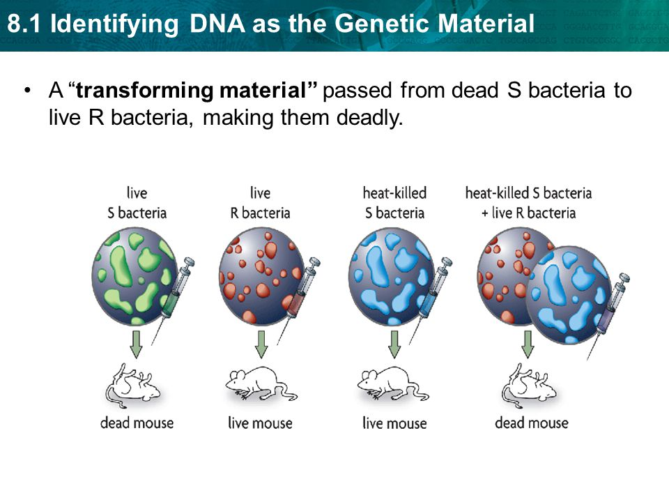 "8.1 Identifying DNA as the Genetic Material A ""transforming material"" passed from dead S bacteria to live R bacteria, making them deadly."
