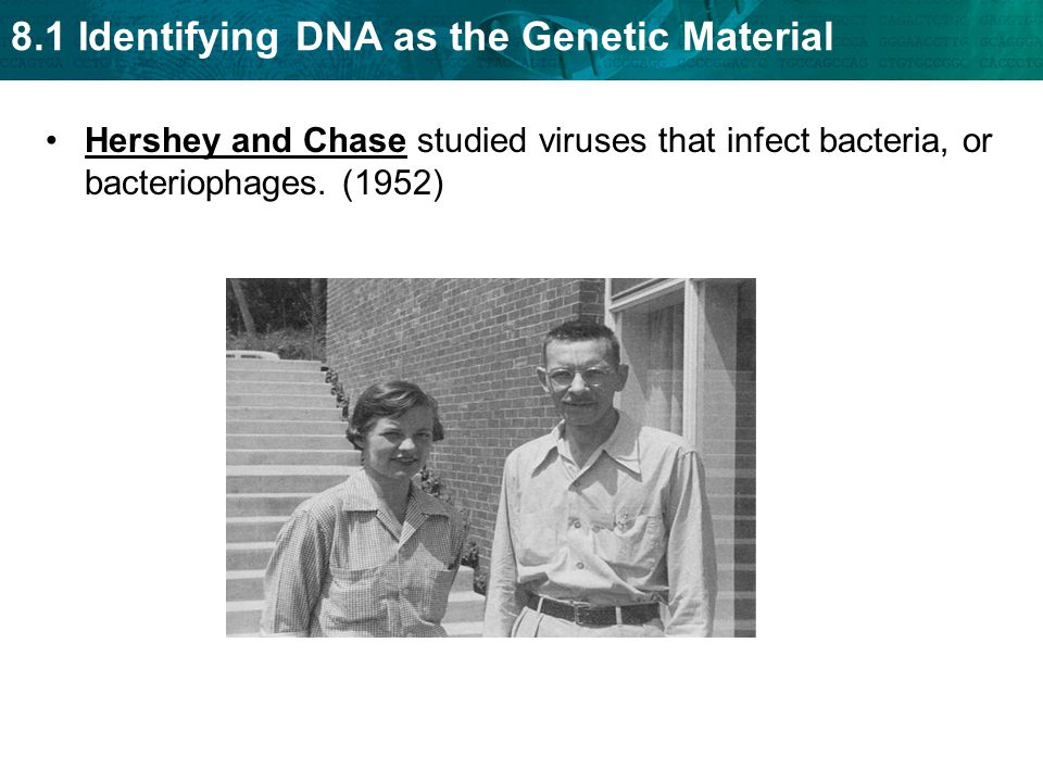8.1 Identifying DNA as the Genetic Material Hershey and Chase studied viruses that infect bacteria, or bacteriophages. (1952)