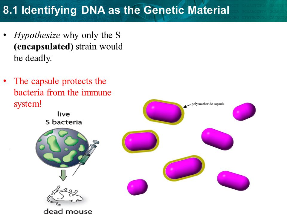 8.1 Identifying DNA as the Genetic Material Hypothesize why only the S (encapsulated) strain would be deadly. The capsule protects the bacteria from t