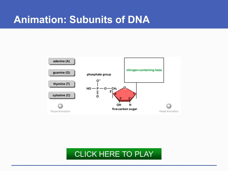Animation: Subunits of DNA CLICK HERE TO PLAY