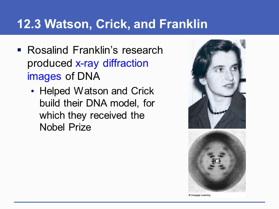 12.3 Watson, Crick, and Franklin  Rosalind Franklin's research produced x-ray diffraction images of DNA Helped Watson and Crick build their DNA model