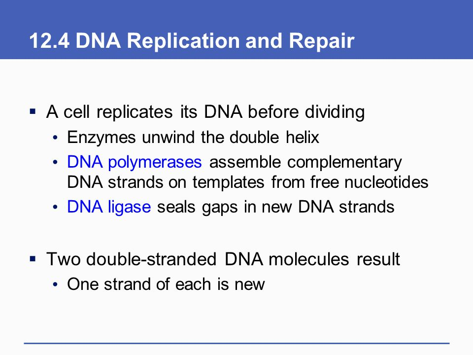 12.4 DNA Replication and Repair  A cell replicates its DNA before dividing Enzymes unwind the double helix DNA polymerases assemble complementary DNA