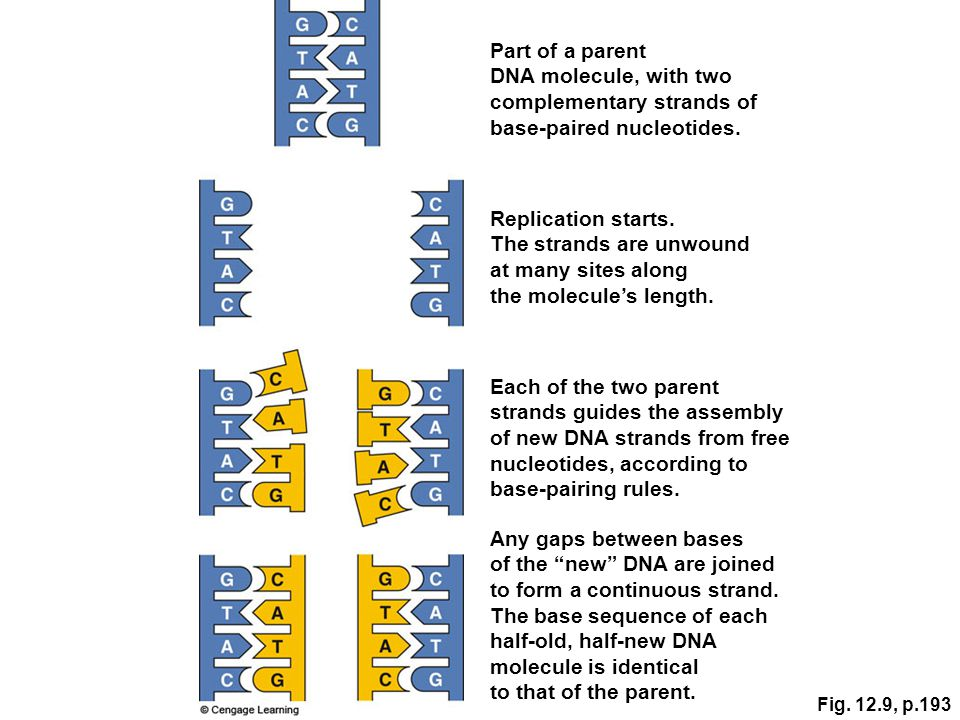 "Any gaps between bases of the ""new"" DNA are joined to form a continuous strand. The base sequence of each half-old, half-new DNA molecule is identical"