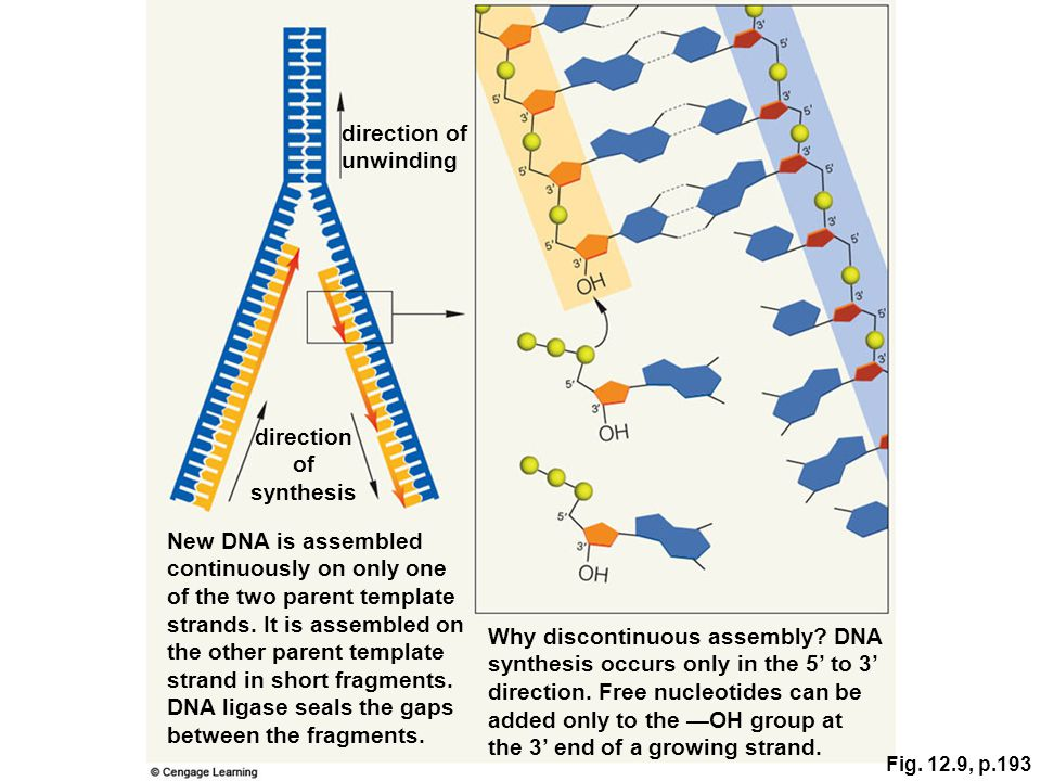 direction of unwinding New DNA is assembled continuously on only one of the two parent template strands. It is assembled on the other parent template
