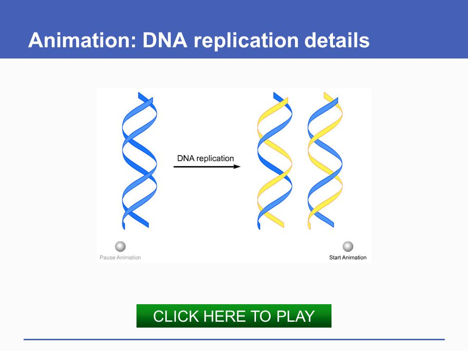 Animation: DNA replication details CLICK HERE TO PLAY
