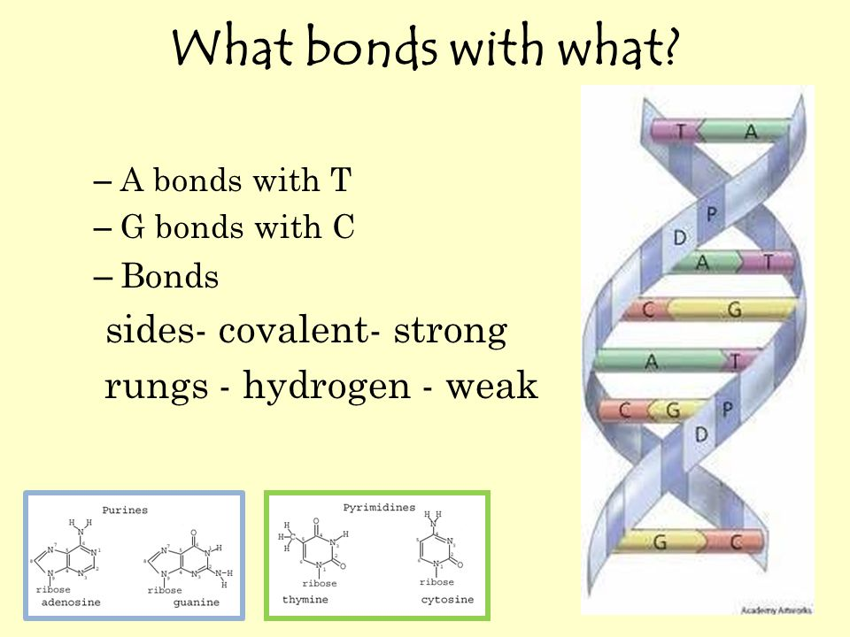 What bonds with what? – A bonds with T – G bonds with C – Bonds sides- covalent- strong rungs - hydrogen - weak