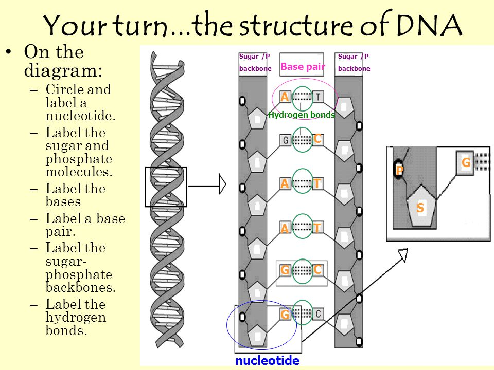 Your turn...the structure of DNA On the diagram: – Circle and label a nucleotide.