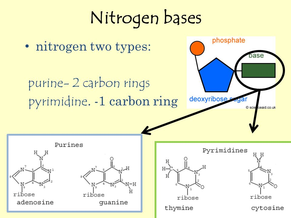 Nitrogen bases nitrogen two types: purine- 2 carbon rings pyrimidine. -1 carbon ring