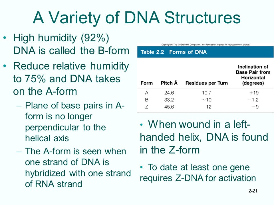 2-21 A Variety of DNA Structures High humidity (92%) DNA is called the B-form Reduce relative humidity to 75% and DNA takes on the A-form –Plane of ba