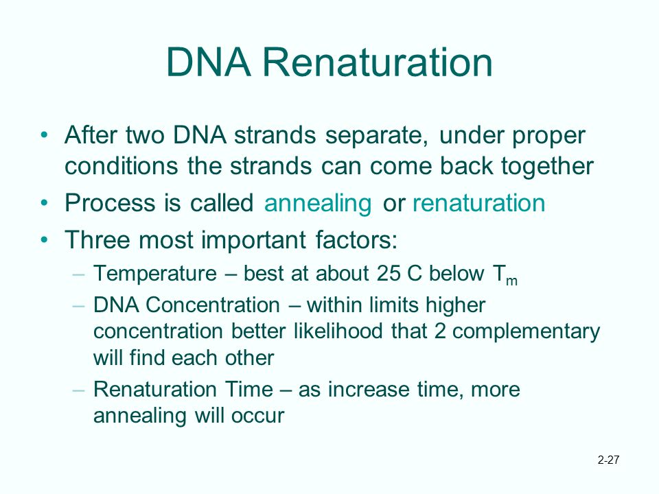 2-27 DNA Renaturation After two DNA strands separate, under proper conditions the strands can come back together Process is called annealing or renatu