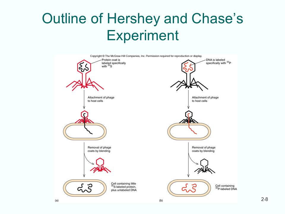 2-8 Outline of Hershey and Chase's Experiment