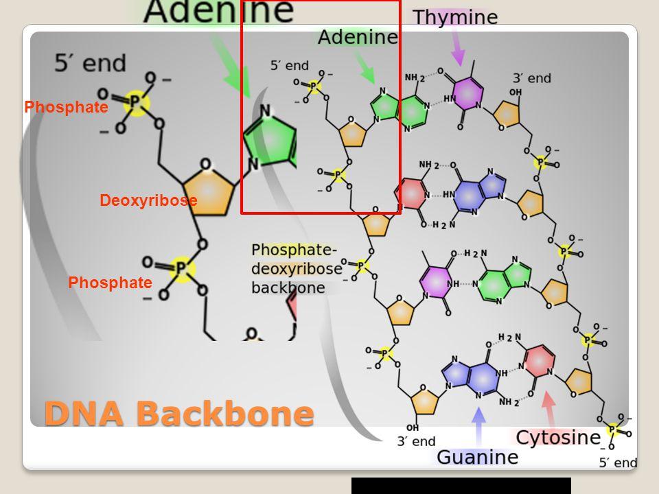 DNA Backbone Phosphate Deoxyribose Phosphate