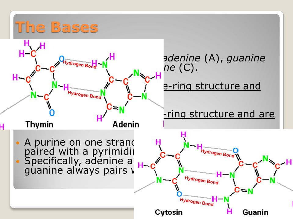 The Bases The four kinds of bases are adenine (A), guanine (G), thymine (T), and cytosine (C).