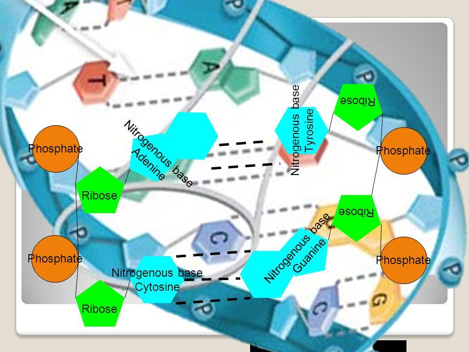 Phosphate Ribose Nitrogenous base Adenine Nitrogenous base Cytosine Nitrogenous base Tyrosine Nitrogenous base Guanine