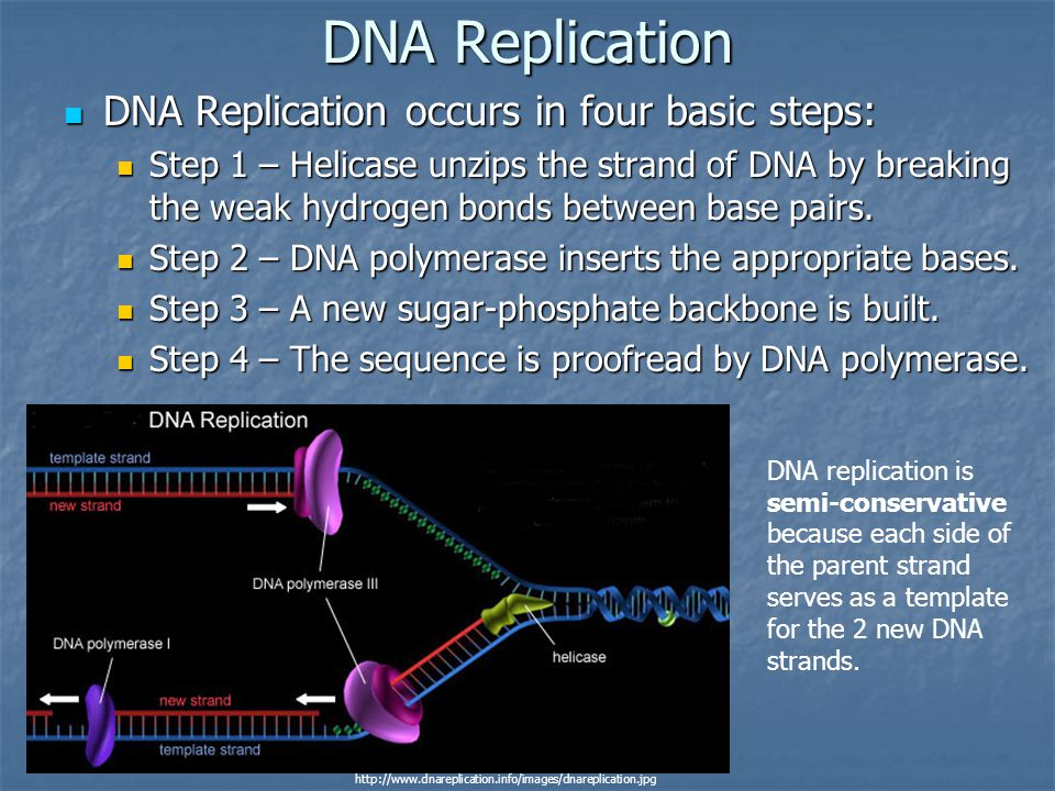 DNA Replication DNA Replication occurs in four basic steps: DNA Replication occurs in four basic steps: Step 1 – Helicase unzips the strand of DNA by