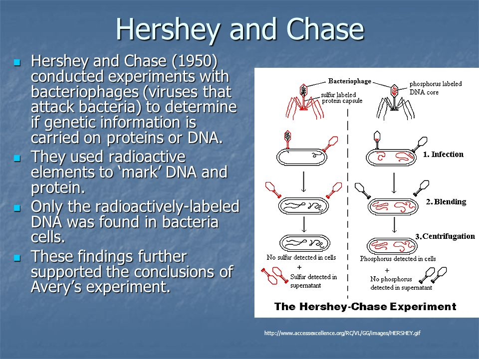 Hershey and Chase Hershey and Chase (1950) conducted experiments with bacteriophages (viruses that attack bacteria) to determine if genetic informatio