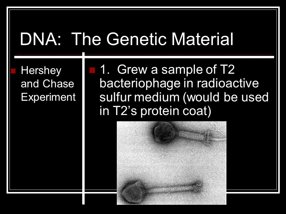 DNA: The Genetic Material Hershey and Chase Experiment 1. Grew a sample of T2 bacteriophage in radioactive sulfur medium (would be used in T2's protei