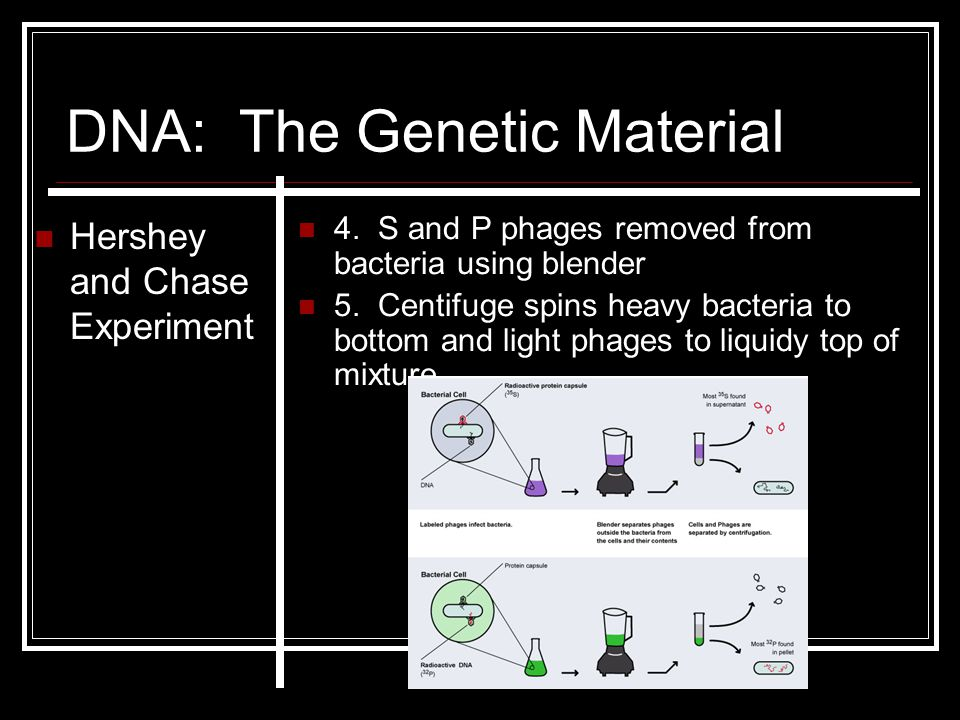 DNA: The Genetic Material Hershey and Chase Experiment 4. S and P phages removed from bacteria using blender 5. Centifuge spins heavy bacteria to bott
