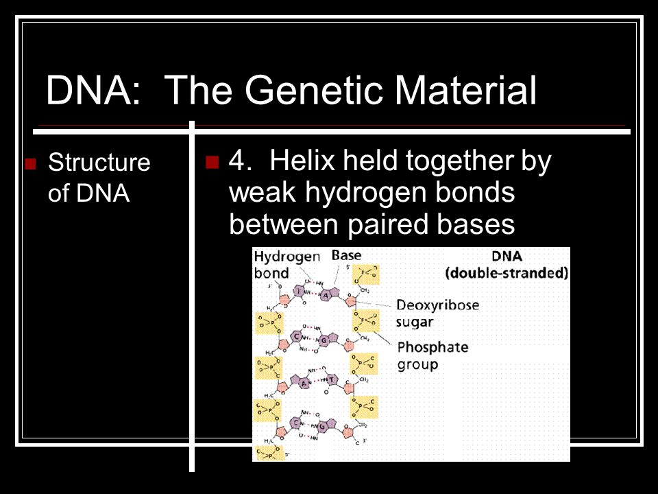 DNA: The Genetic Material Structure of DNA 4. Helix held together by weak hydrogen bonds between paired bases