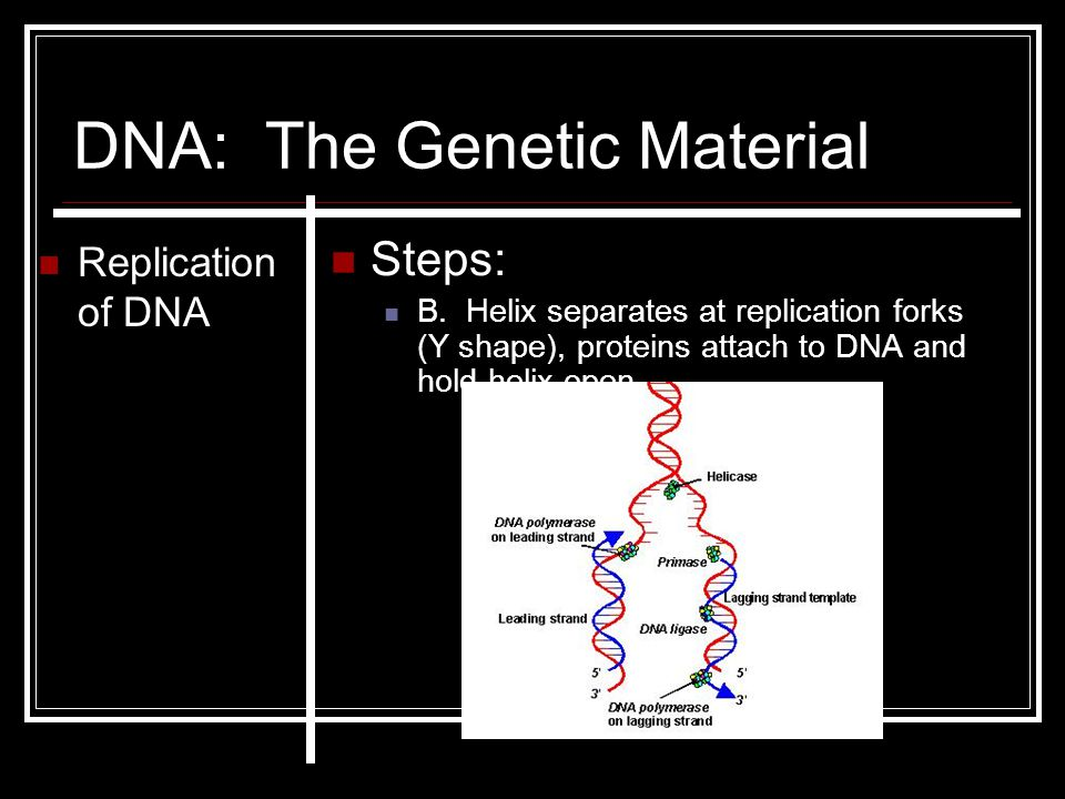 DNA: The Genetic Material Replication of DNA Steps: B. Helix separates at replication forks (Y shape), proteins attach to DNA and hold helix open