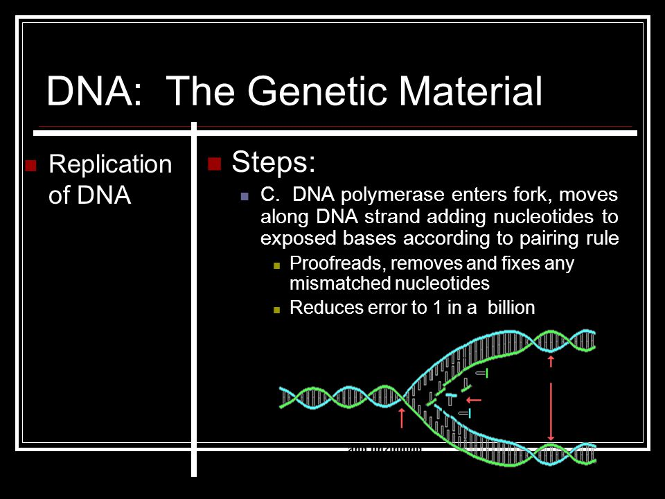 DNA: The Genetic Material Replication of DNA Steps: C. DNA polymerase enters fork, moves along DNA strand adding nucleotides to exposed bases accordin