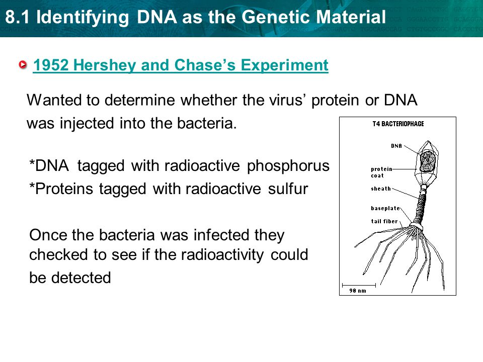 8.1 Identifying DNA as the Genetic Material 1952 Hershey and Chase's Experiment Wanted to determine whether the virus' protein or DNA was injected into the bacteria.