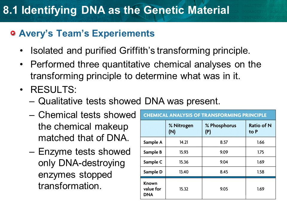 8.1 Identifying DNA as the Genetic Material Avery's Team's Experiements Isolated and purified Griffith's transforming principle.