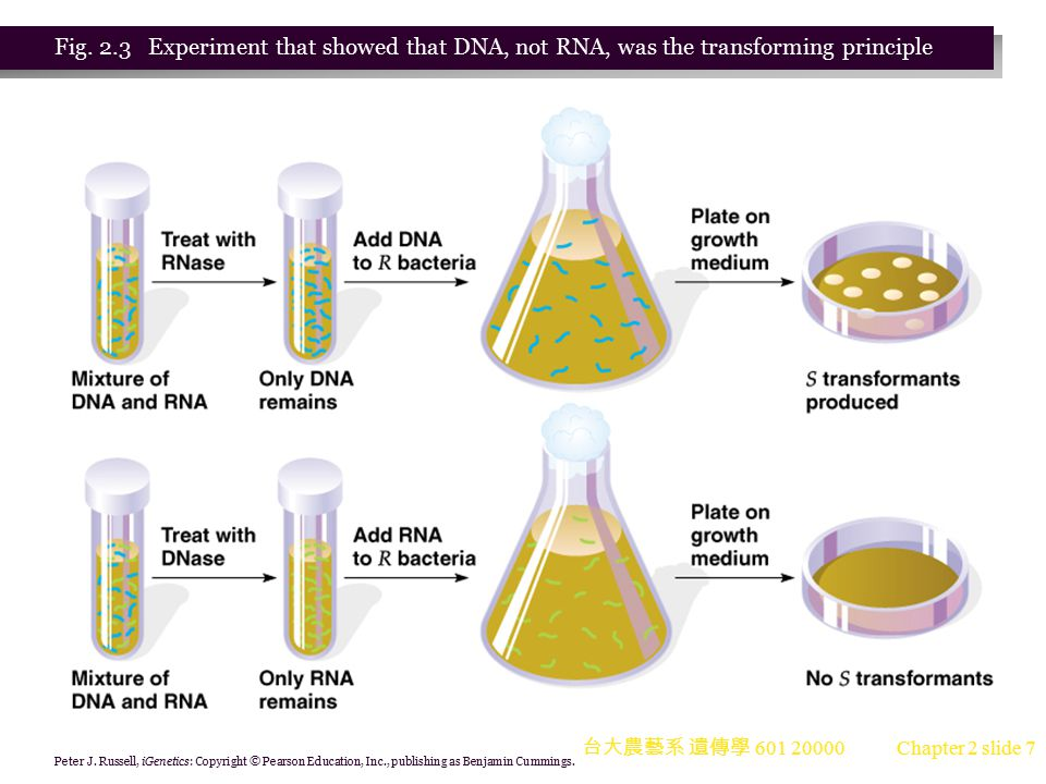 台大農藝系 遺傳學 601 20000 Chapter 2 slide 28 Different DNA Structures X ray diffraction studies show that DNA can exist in different forms (Figure 2.15).