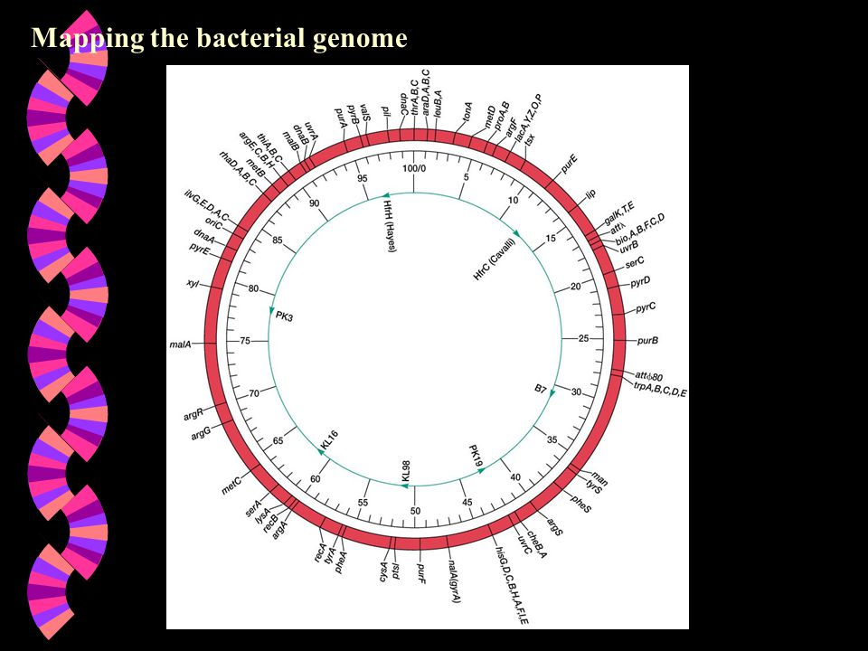 Mapping the bacterial genome