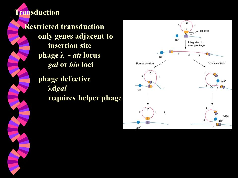 Transduction Restricted transduction only genes adjacent to insertion site phage λ - att locus gal or bio loci phage defective λdgal requires helper p