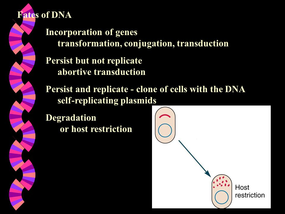 Fates of DNA Incorporation of genes transformation, conjugation, transduction Persist but not replicate abortive transduction Persist and replicate - clone of cells with the DNA self-replicating plasmids Degradation or host restriction
