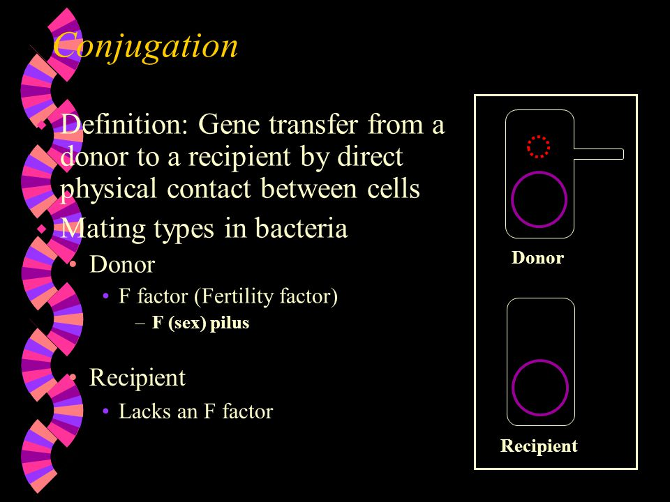 Conjugation w Definition: Gene transfer from a donor to a recipient by direct physical contact between cells w Mating types in bacteria Donor F factor (Fertility factor) –F (sex) pilus Donor Recipient Lacks an F factor