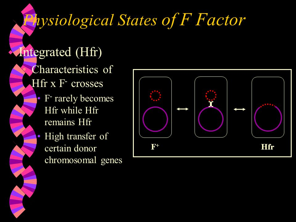 Physiological States of F Factor w Integrated (Hfr) Characteristics of Hfr x F - crosses F - rarely becomes Hfr while Hfr remains Hfr High transfer of certain donor chromosomal genes F+F+ Hfr