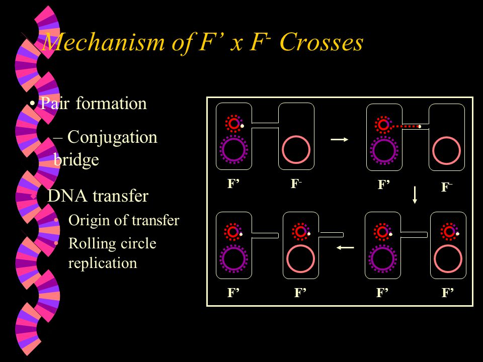 Mechanism of F' x F - Crosses w DNA transfer Origin of transfer Rolling circle replication Pair formation – Conjugation bridge F' F-F- F-F-