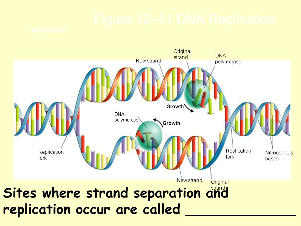 Figure 12–11 DNA Replication Section 12-2 Growth Replication fork DNA polymerase New strand Original strand DNA polymerase Nitrogenous bases Replication fork Original strand New strand Sites where strand separation and replication occur are called _____________