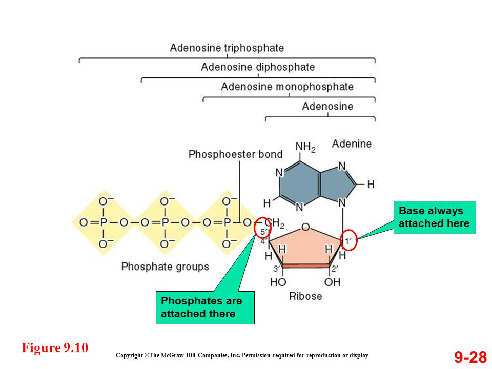 9-28 Copyright ©The McGraw-Hill Companies, Inc. Permission required for reproduction or display Figure 9.10 Base always attached here Phosphates are a
