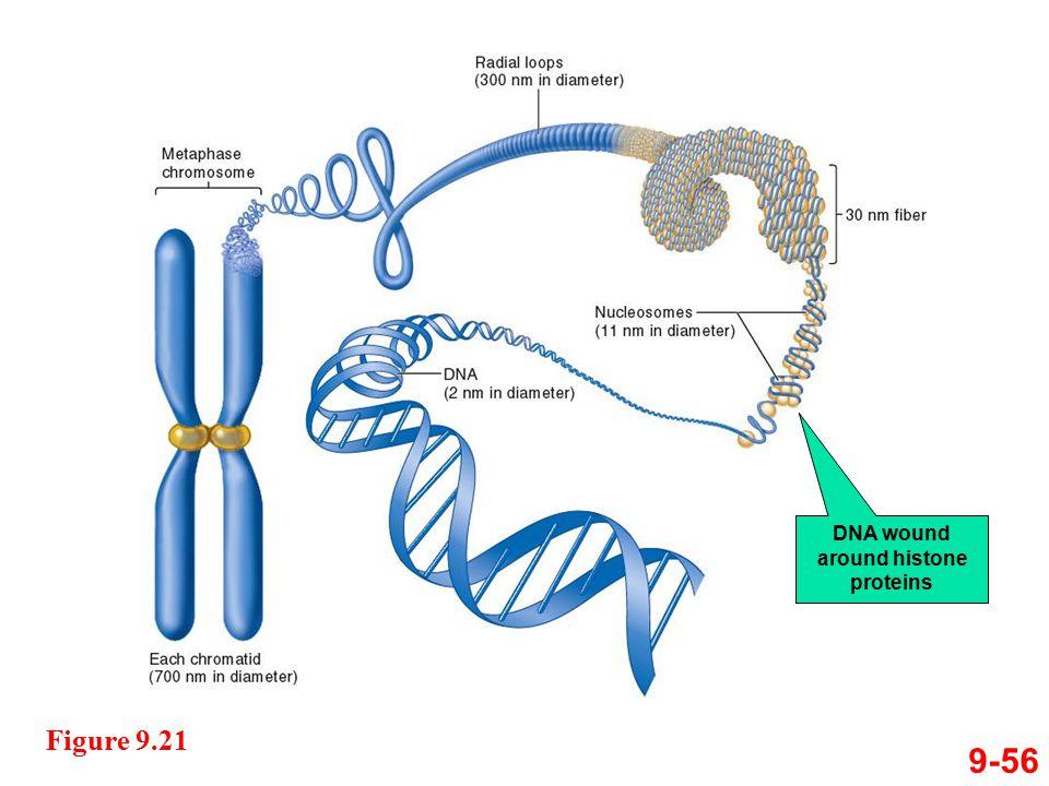 9-56 Figure 9.21 DNA wound around histone proteins