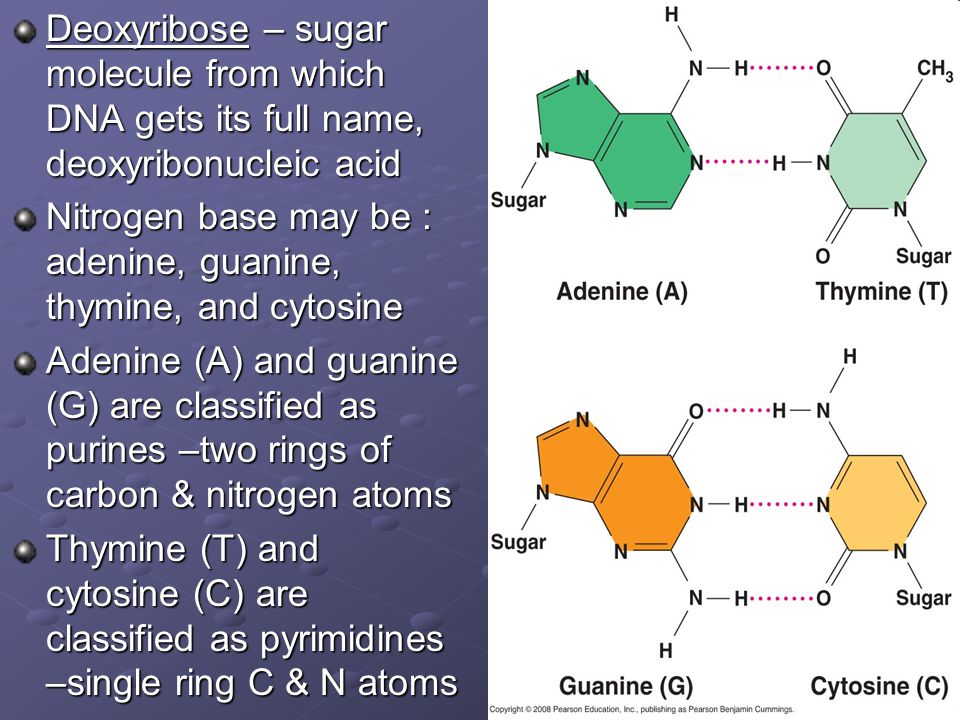 Deoxyribose – sugar molecule from which DNA gets its full name, deoxyribonucleic acid Nitrogen base may be : adenine, guanine, thymine, and cytosine A