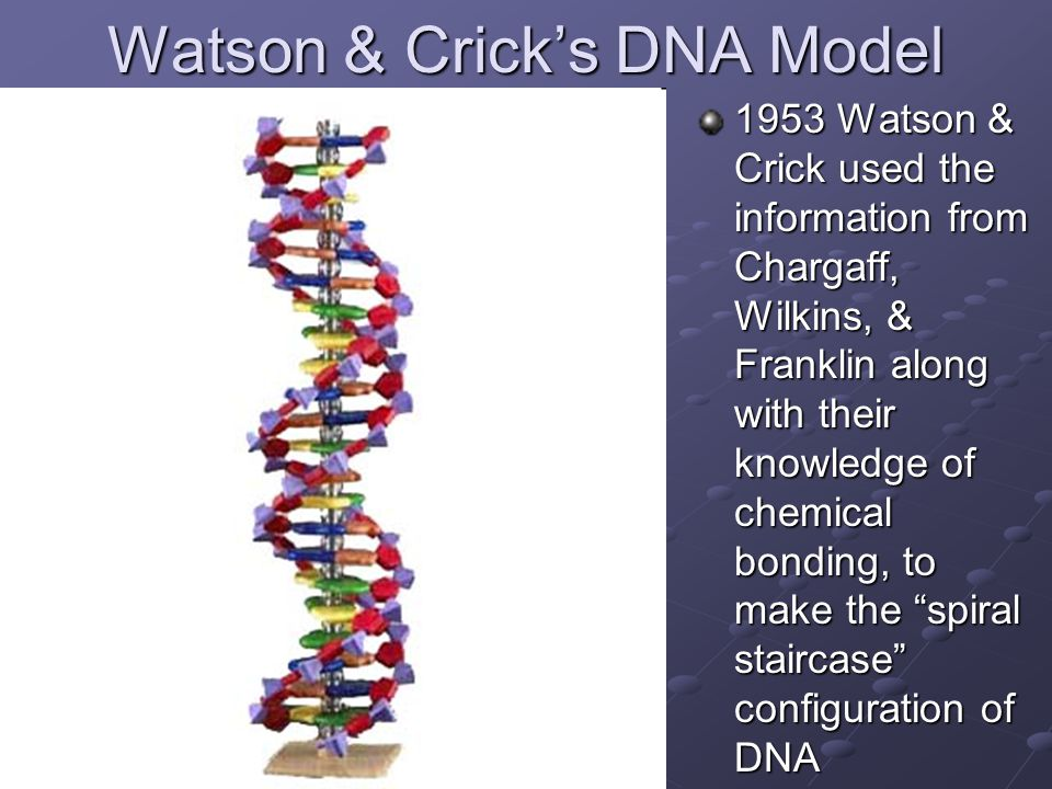 Watson & Crick's DNA Model 1953 Watson & Crick used the information from Chargaff, Wilkins, & Franklin along with their knowledge of chemical bonding,