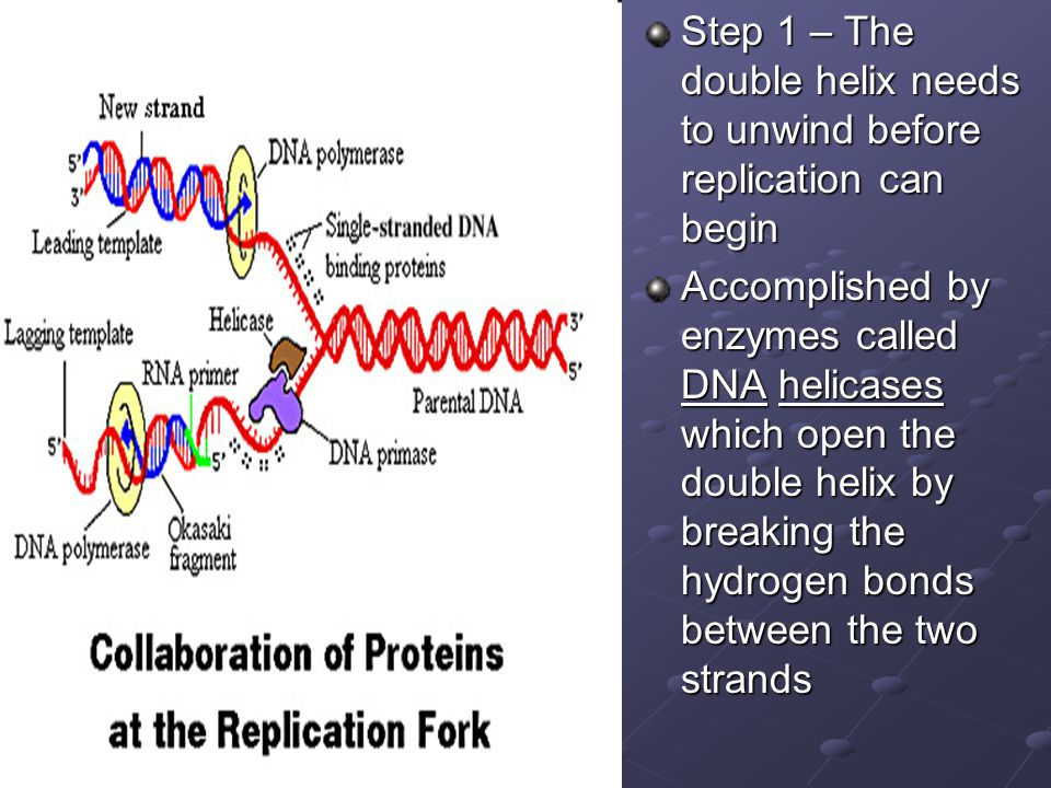 Step 1 – The double helix needs to unwind before replication can begin Accomplished by enzymes called DNA helicases which open the double helix by bre
