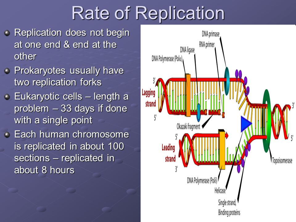 Rate of Replication Replication does not begin at one end & end at the other Prokaryotes usually have two replication forks Eukaryotic cells – length